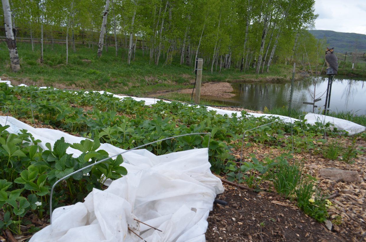 Known for their permaculture practices, Elkstone Farm produces different varieties of strawberries that include Honeoye, Seascape and Fort Laramie Everbearing.