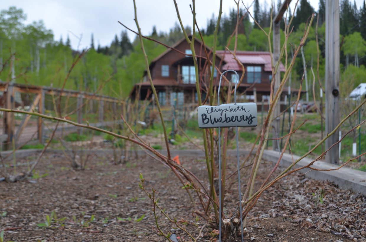 The Elizabeth blueberries produced at Elkstone Farms are cultivated in a raised bed with peat moss, which is known to create the more acidic soil accustomed to growing blueberries.