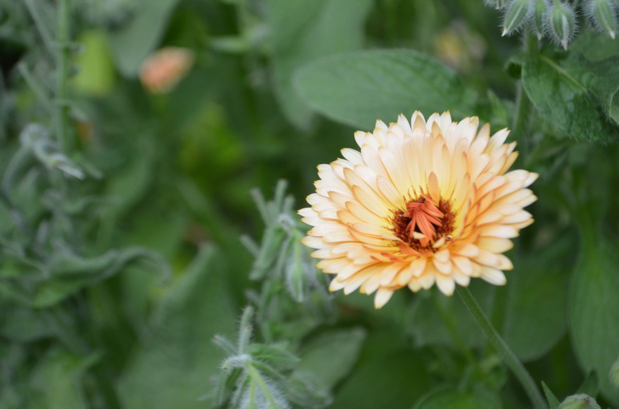 Among the flowers found in the original greenhouse are nasturtiums, calendula and pansies.