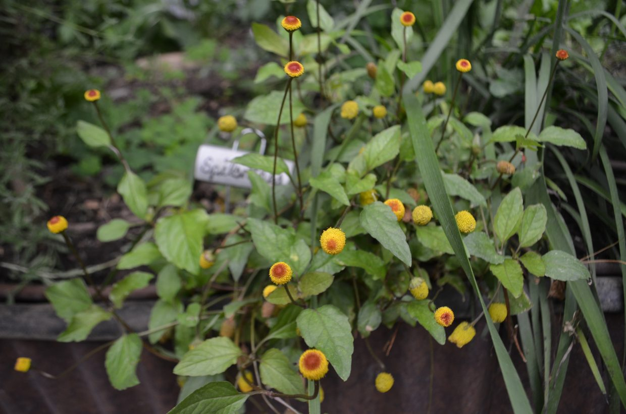 Spilanthes, found in the greenhouse, is used at Harwigs in one of their signature cocktails.