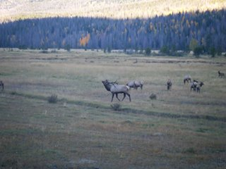 Elk bugling in Rocky Mountain National Park. Submitted by: Mona White