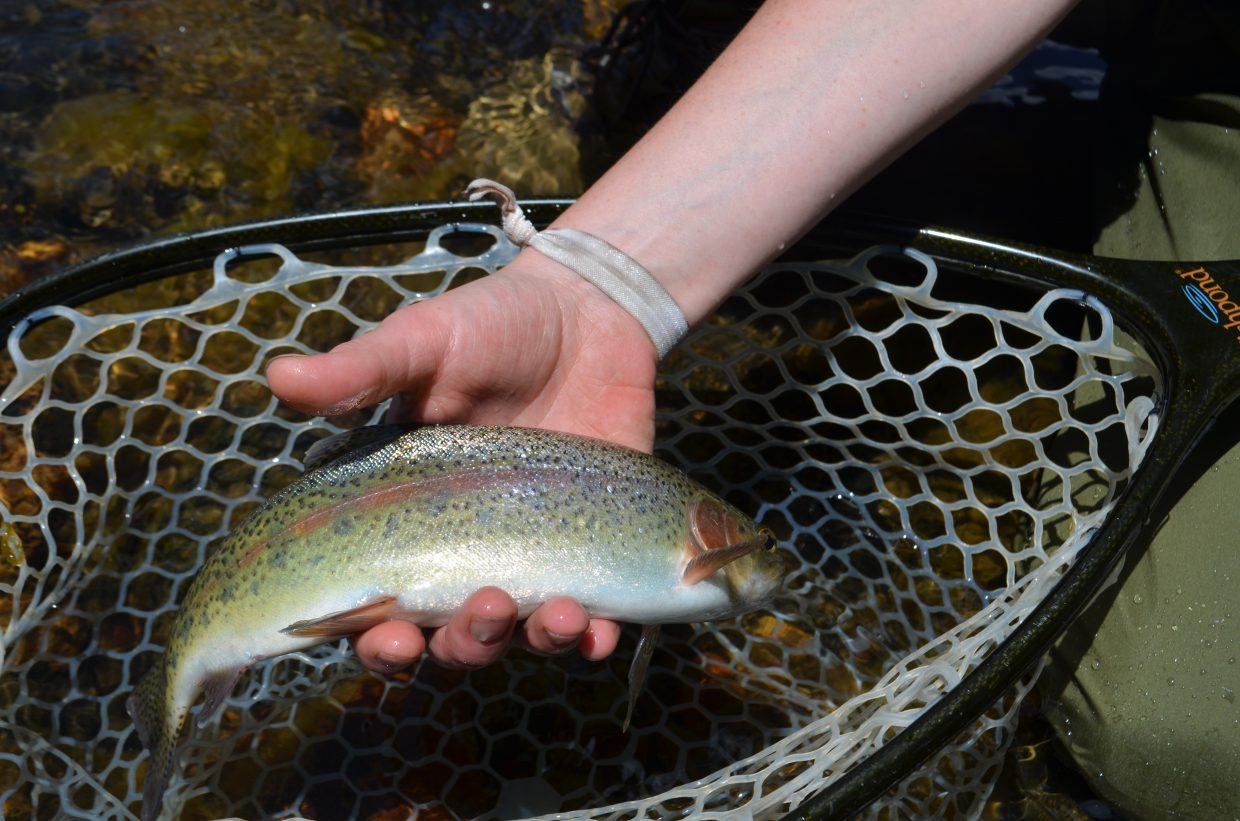 Arts and entertainment reporter Audrey Dwyer catches this rainbow trout on her first fly fishing trip. Rainbow and cutthroat trout are found in this part of the Little Snake River.