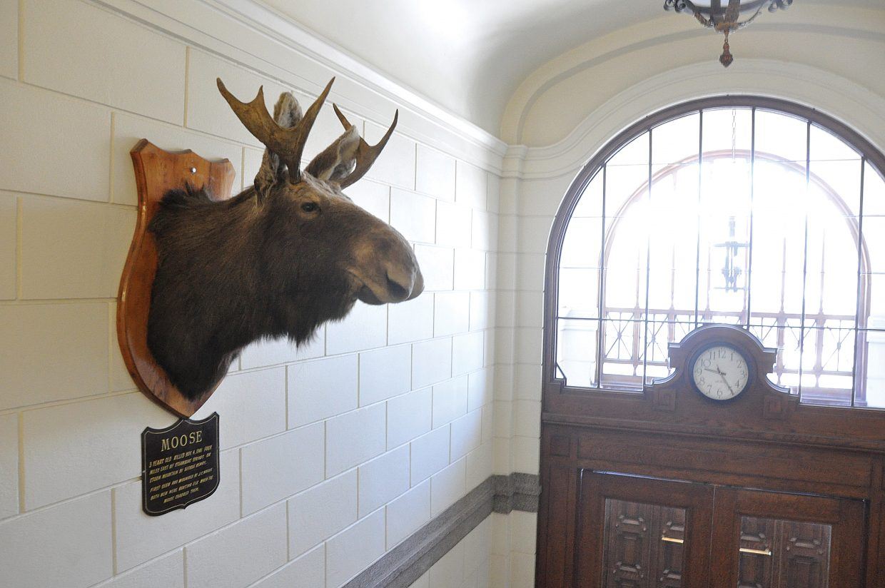 The young bull moose that is mounted at the Historic Routt County Courthouse is believed to be the first moose ever killed in Colorado.