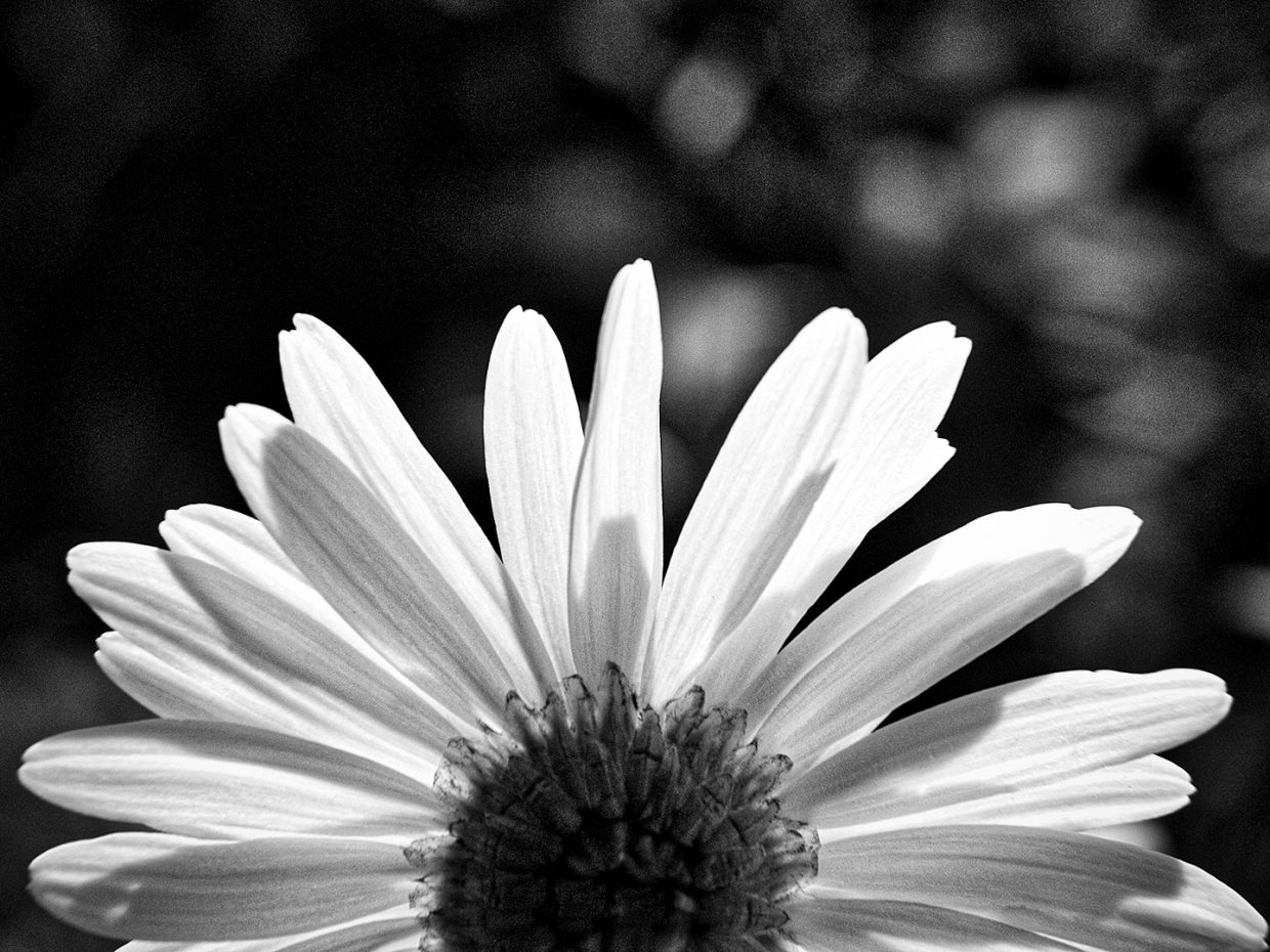 Flower in black & white. Submitted by Jeff Hall.