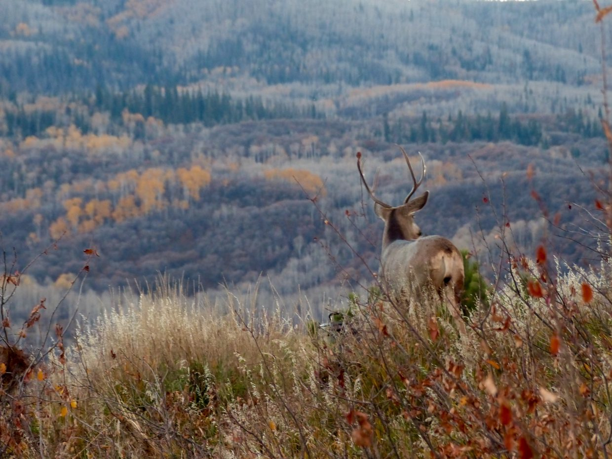 Mule Deer Buck taking in the view above CMC. Submitted by: Cristina Harmon