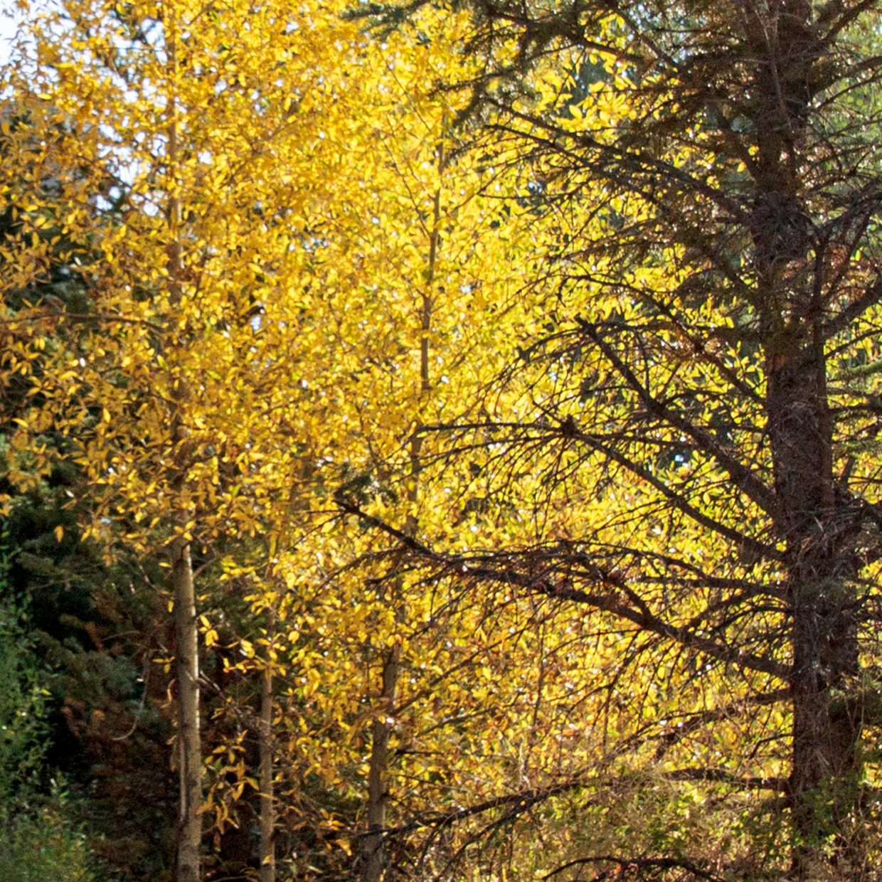 Aspens starting to turn in Steamboat Springs.