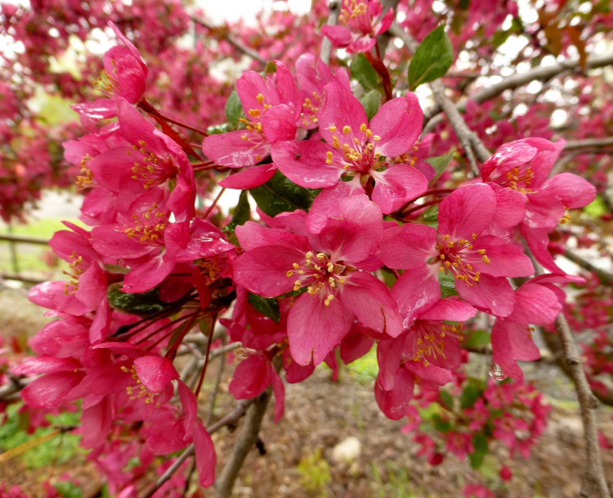 Crab apple blossoms. Submitted by Gail Hanley.