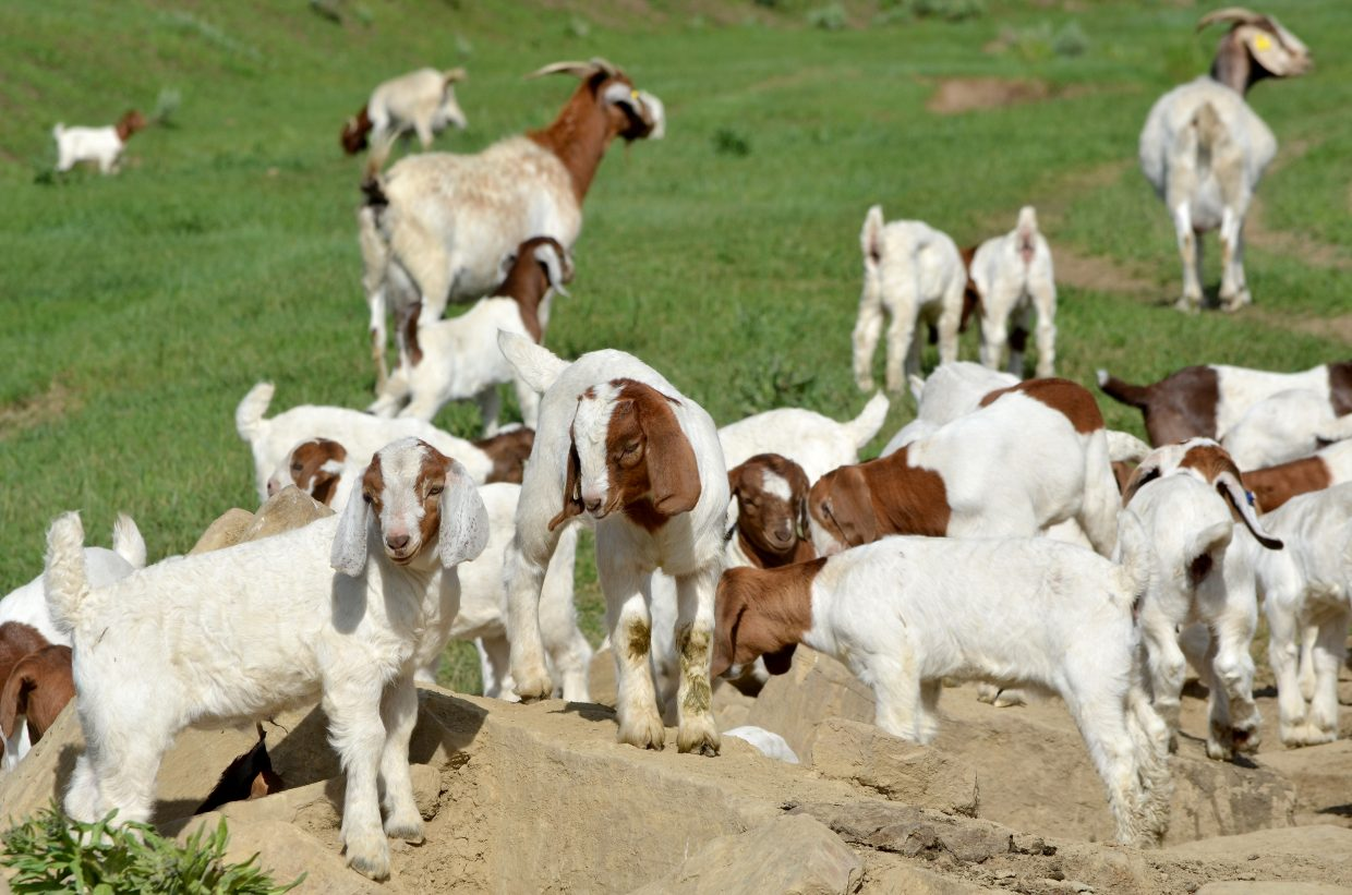 Brown and white Boer goat kids, their markings as varied as those on puppies, romp on rocky outcroppings at Saddleback Ranch. Their first two weeks in the hilly meadows represent a critical time when they must form a tight group with the nannies for safety from predators.