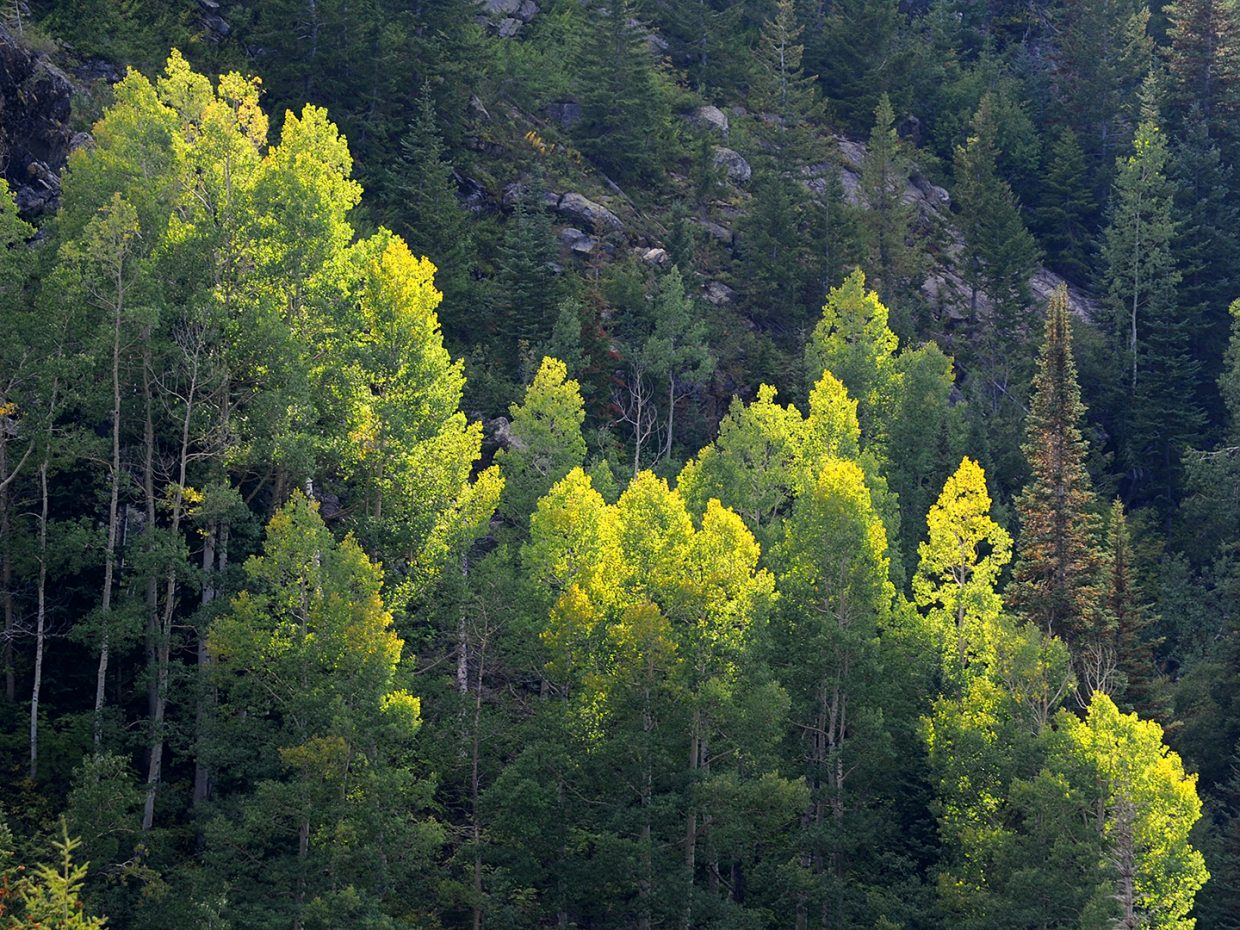 Aspens showing a trace of gold around the edges, taken on fish creek falls trail. Submitted by Jeff Hall.