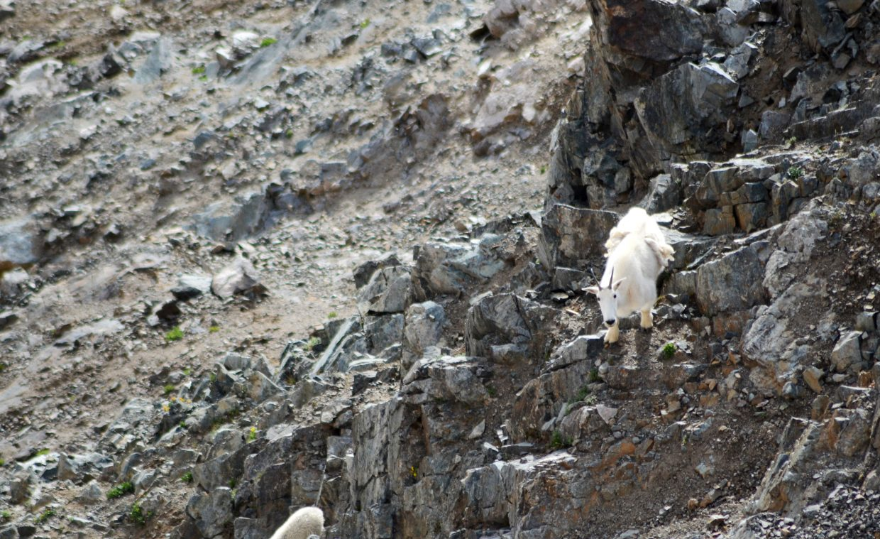 Mountain goats are one type of wildlife that can be found on the Grays Peak-Torreys Peak 14er climb.