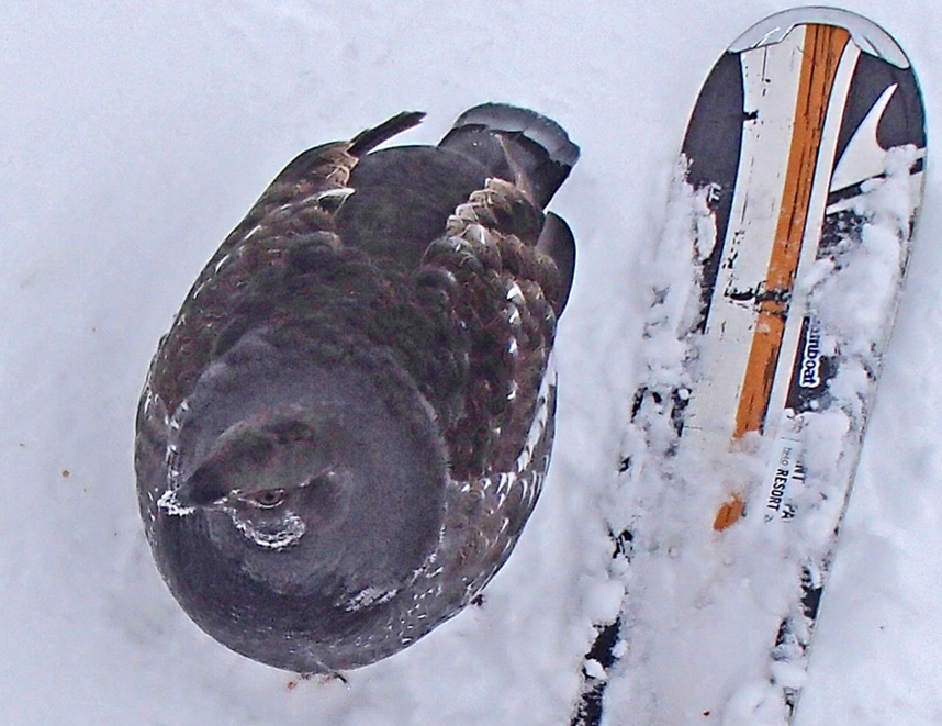 The grouse on Sunset, came begging for food. Submitted by Roger Hankey.