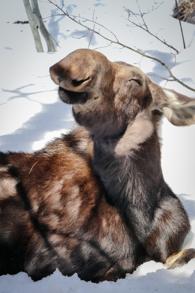 This moose just ate all my blooming crocus. I don't think he really cares! Submitted by Tom Litteral.