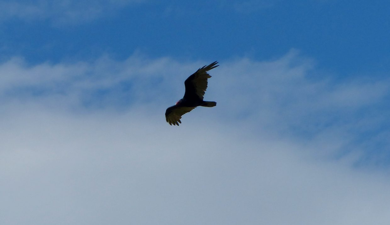 A hawk flies overhead, looking for a snack, along 20-Mile Road. Photo courtesy of Steve Dunklin.