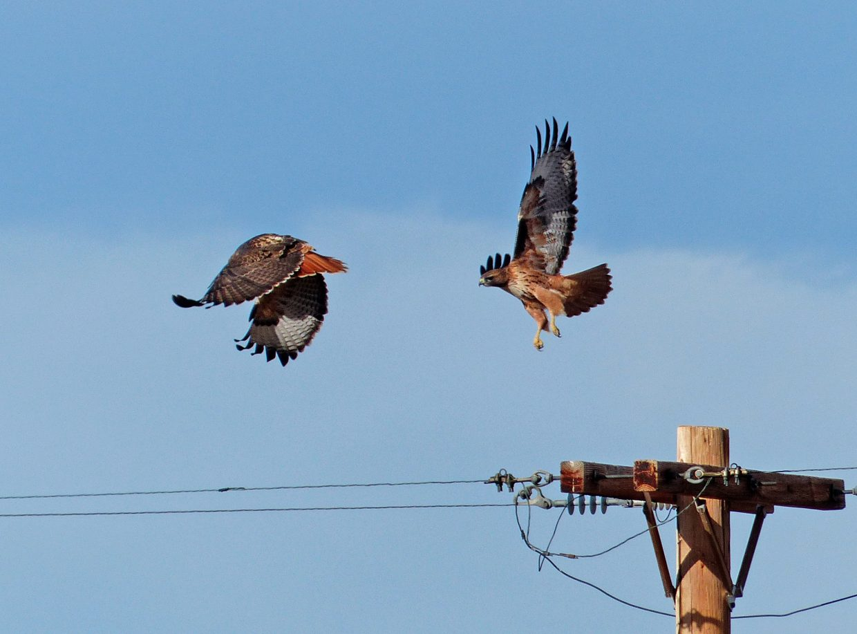 Red-tailed Hawks taking off.