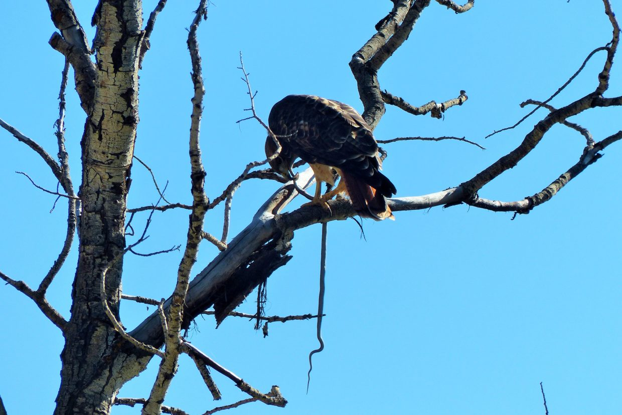 A hawk made lunch of a snake high in a tree, off Fish Creek Falls Road. Submitted by: Shannon Lukens
