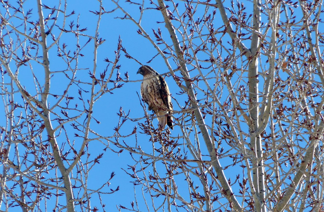First, this hawk in the tree was observing the morning sunshine, looking for a snack. In the second picture, a jogger runs by with his dog on Amethyst Street. Look up in the far left at the top of the tree and you can see the hawk watching them. Yes, it is the same hawk.
