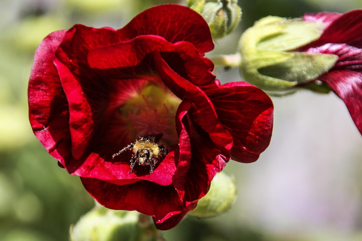 Bumble Bee on hollyhock. Submitted by G. Fredric Reynolds.