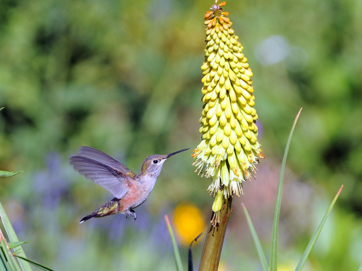 A hummingbird at Yampa River Botanic Park. Submitted by Jeff Hall.
