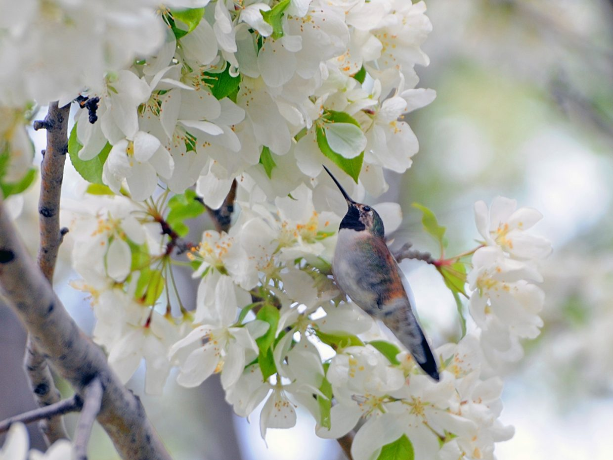 Hummingbird and Spring Blossoms. Submitted by Jeff Hall.