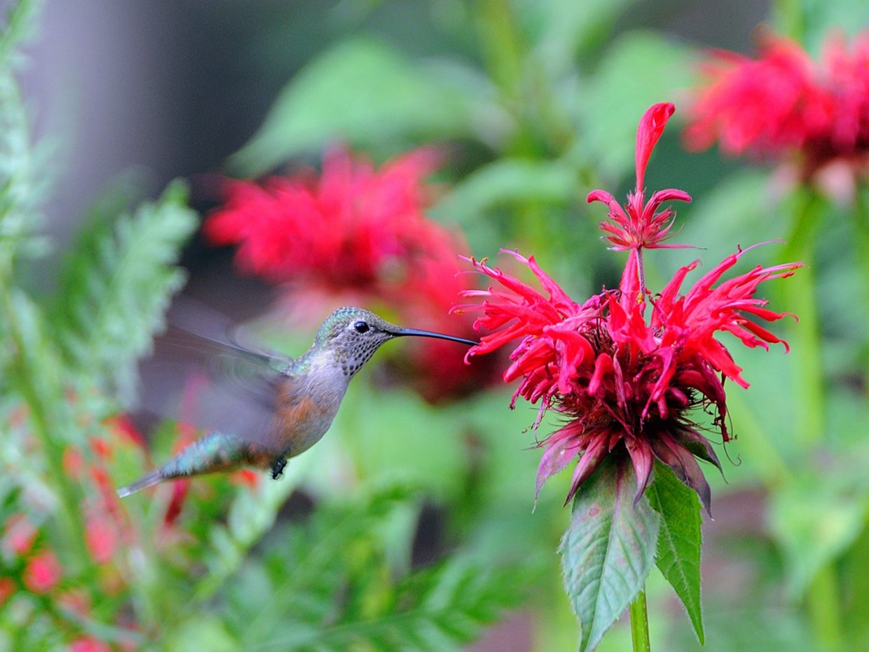 Hummingbird Yampa River Botanic Park Submitted by Jeff Hall.