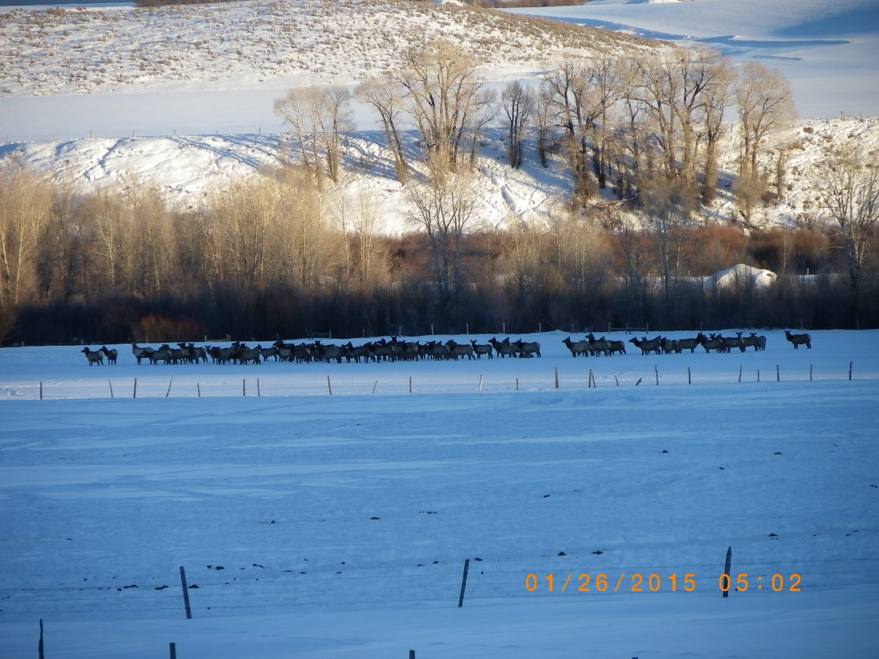 Elk herd living on the Lower Elk River. Submitted by: Mary Kay Monger
