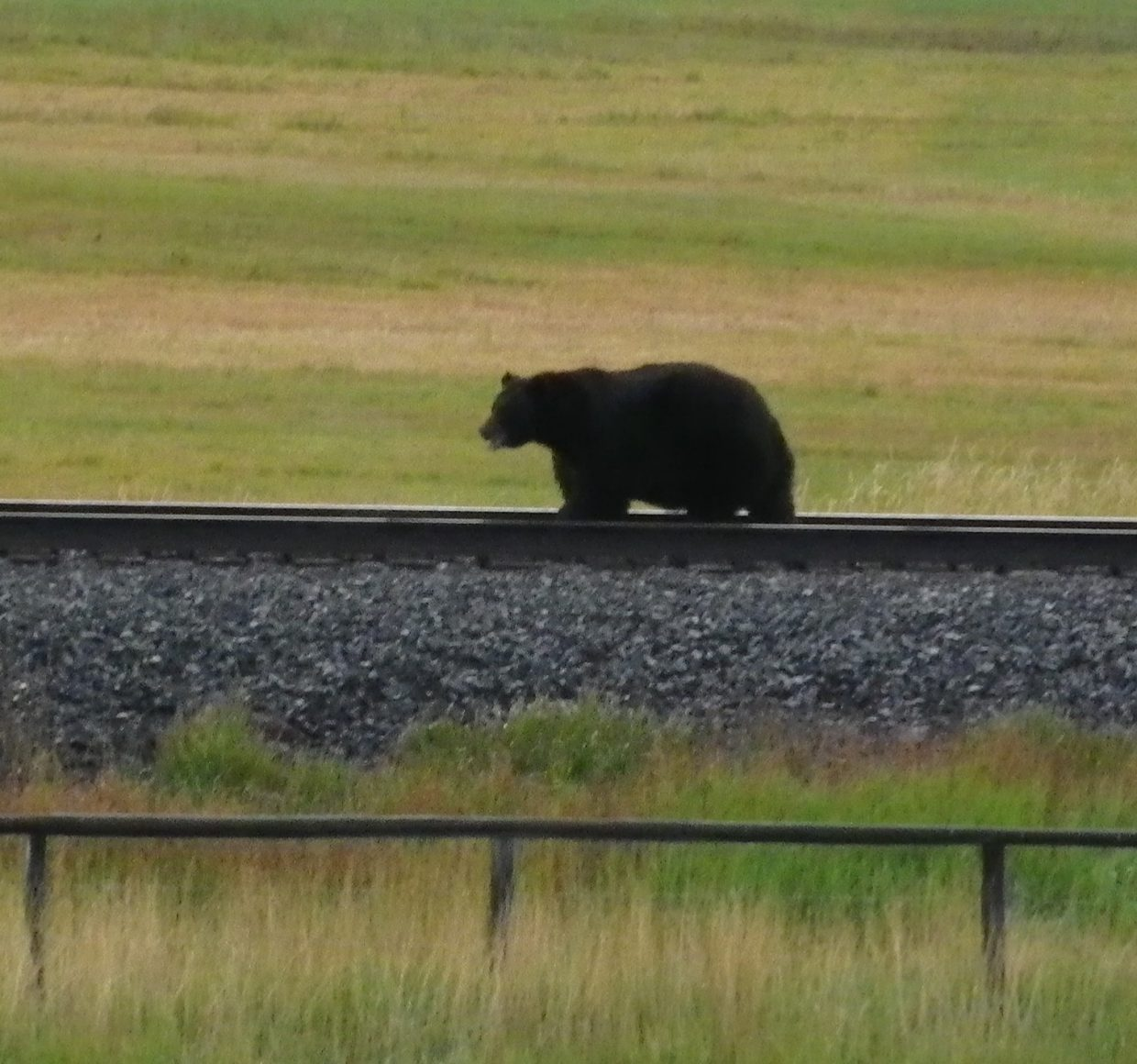 Bear on the tracks. Submitted by: Leonard Auter