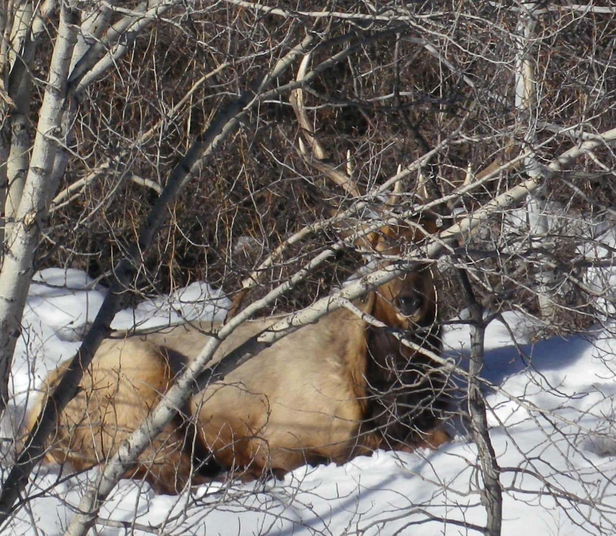 Elk enjoying a sunny afternoon. Photo submitted by: Leonard Auter.