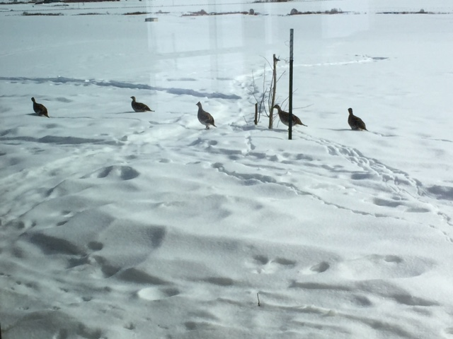Grouse in South Route Valley. Submitted by: Jim Brainard