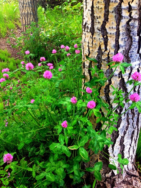 I photographed this pink wild clover which was growing among the trees on the path to Yampa River Botanic Park. A lovely sight to help set the stage for Music on the Green. Submitted by Verleen Tucker.