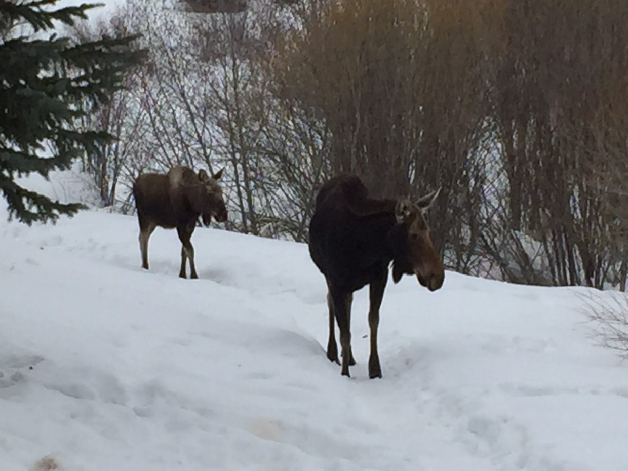 Moose on trail between Whistler and Meadow Lane today