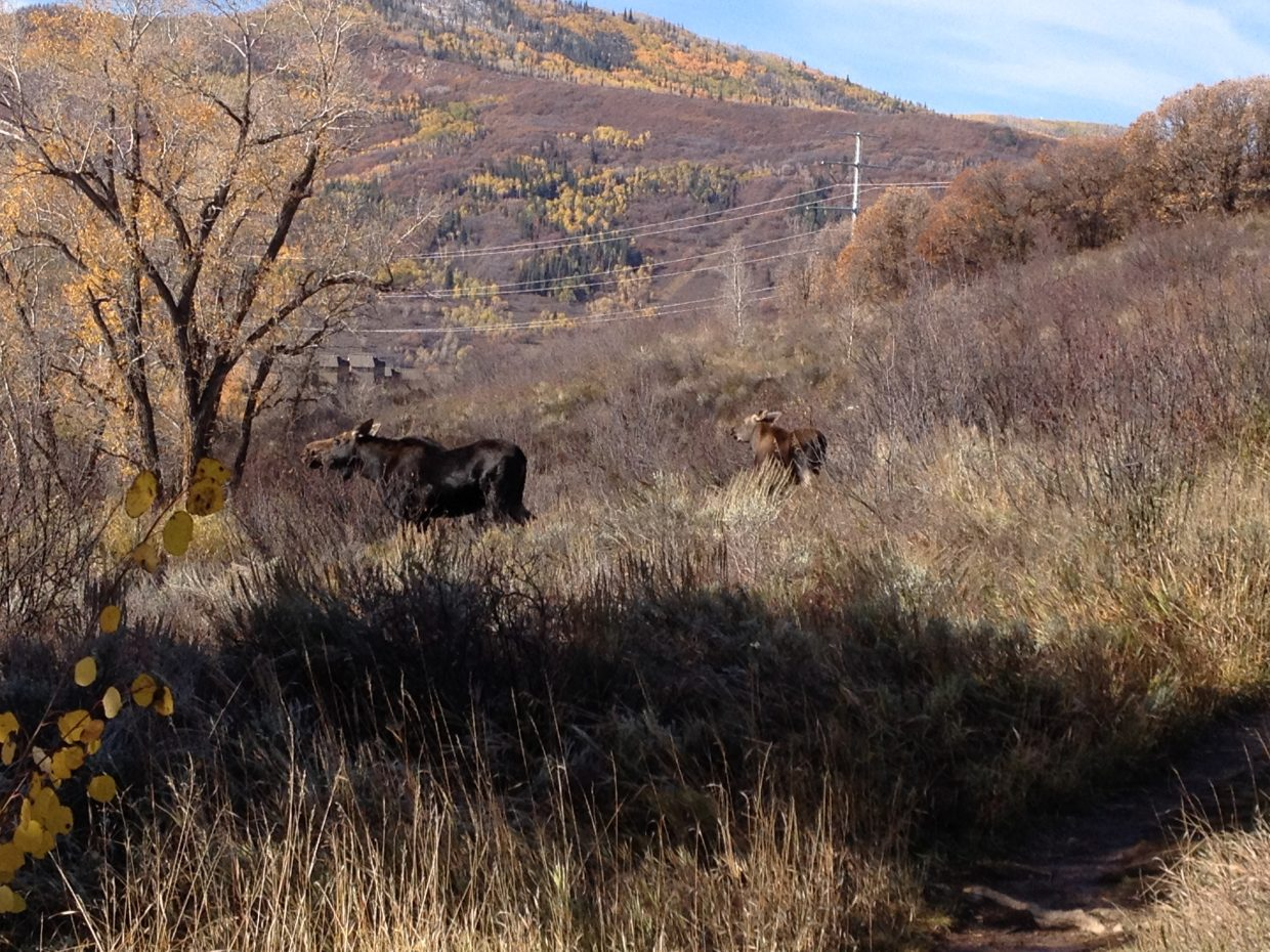 Came across this mother moose and her calf while walking my two dogs at the dog park in Steamboat on Thursday. Submitted by: Paul Citarelli