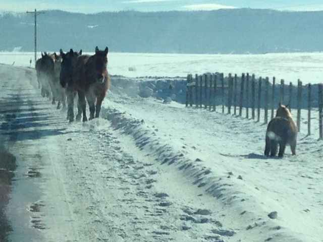 Horses were walking single file facing traffic on Routt County Road 129. Photo submitted by: BJ LePak.
