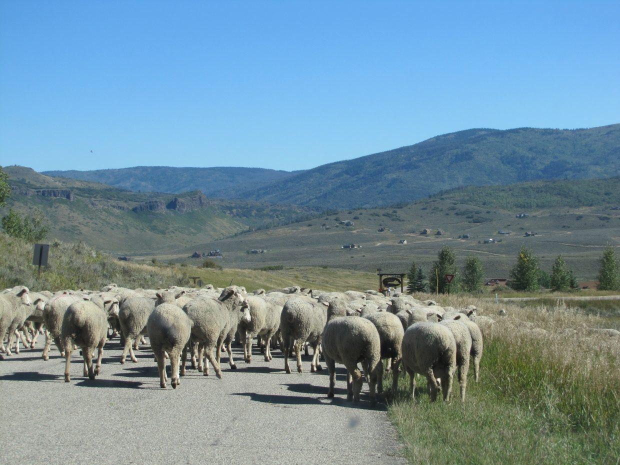 The sheep have come down from the high country. Sumitted by Kathy Reul.