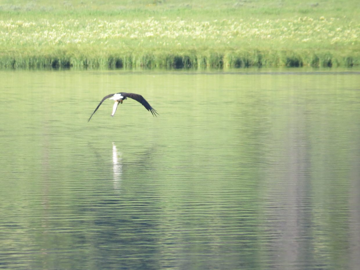 Bald Eagle fishing at Steamboat Lake on July 14. Submitted by Doug Slaight.