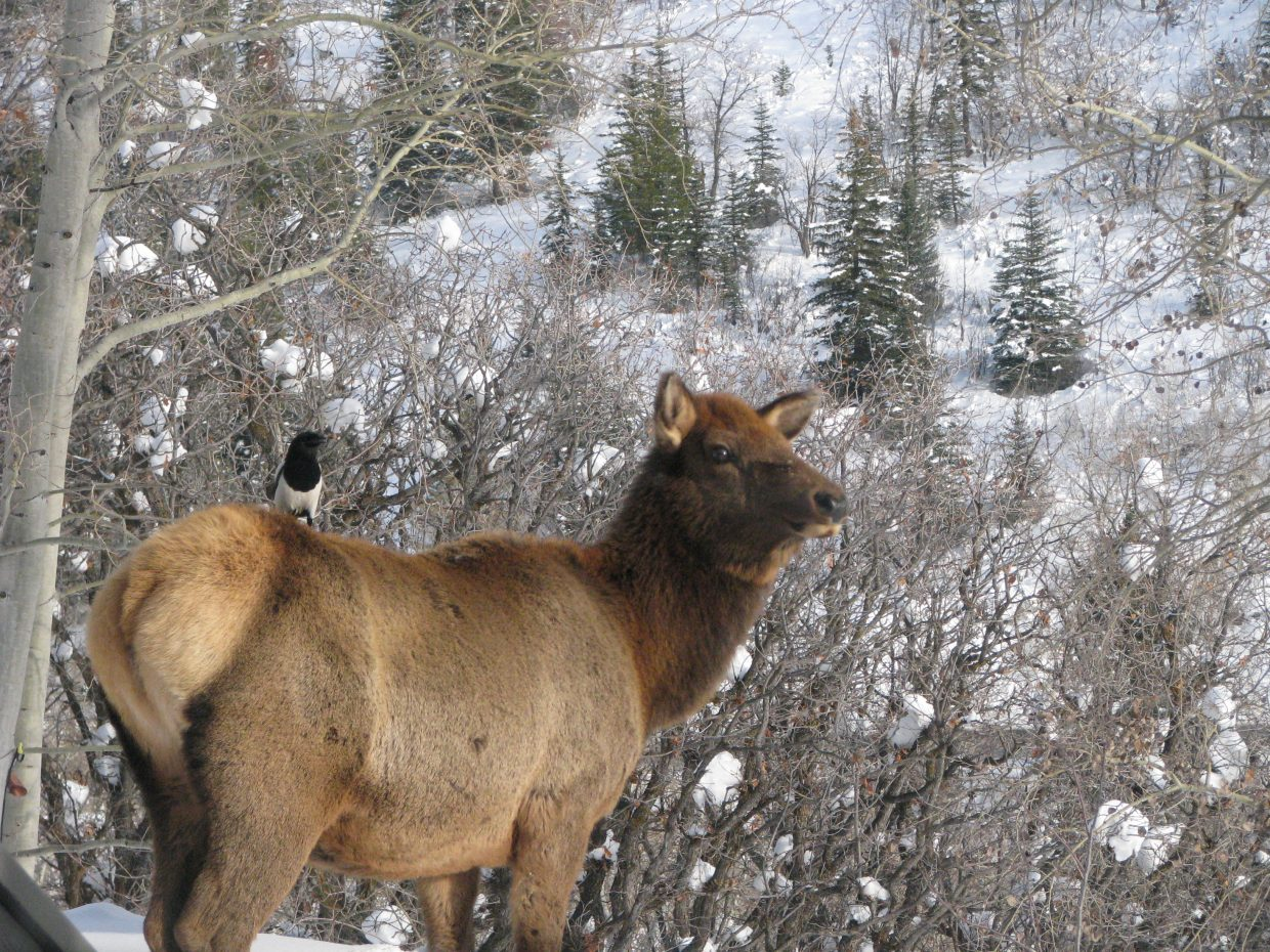 Elk and magpie. Submitted by: Josie Fratus