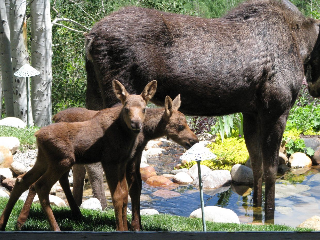 Moose mama and babies. Submitted by: Josie Fratus