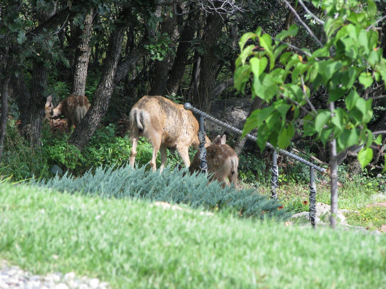 Mama and babies in backyard. Submitted by Josie Fratus.
