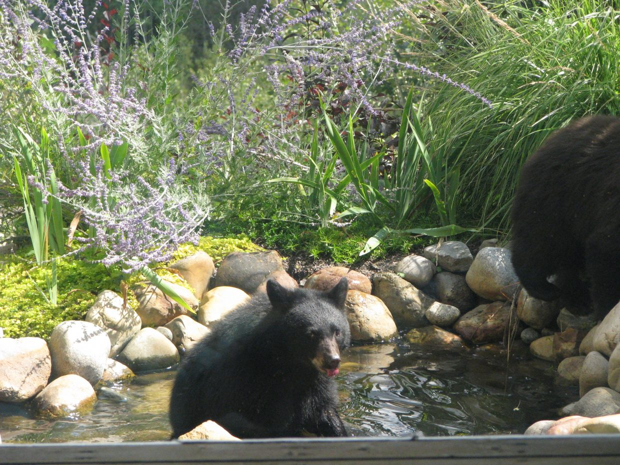 Mama and two cubs in backyard pond. Submitted by Josie Fratus.