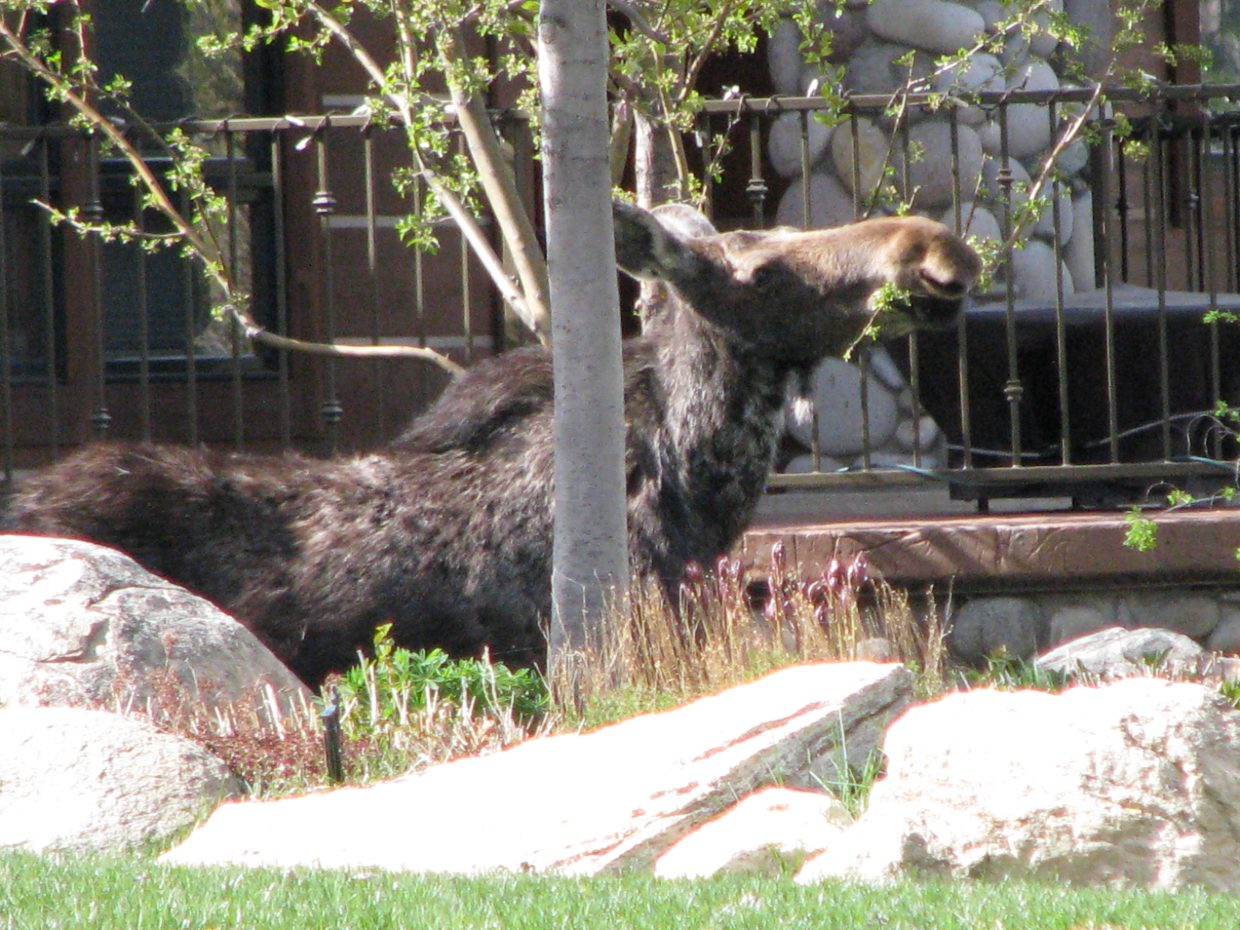 Moose in front yard. Submitted by Josie Fratus.