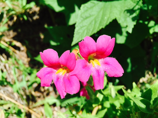 Rare Pink Monkeyflower found along the Gold Creek trail on Aug. 4. Submitted by Margo, Katy, & Keely McCombs.