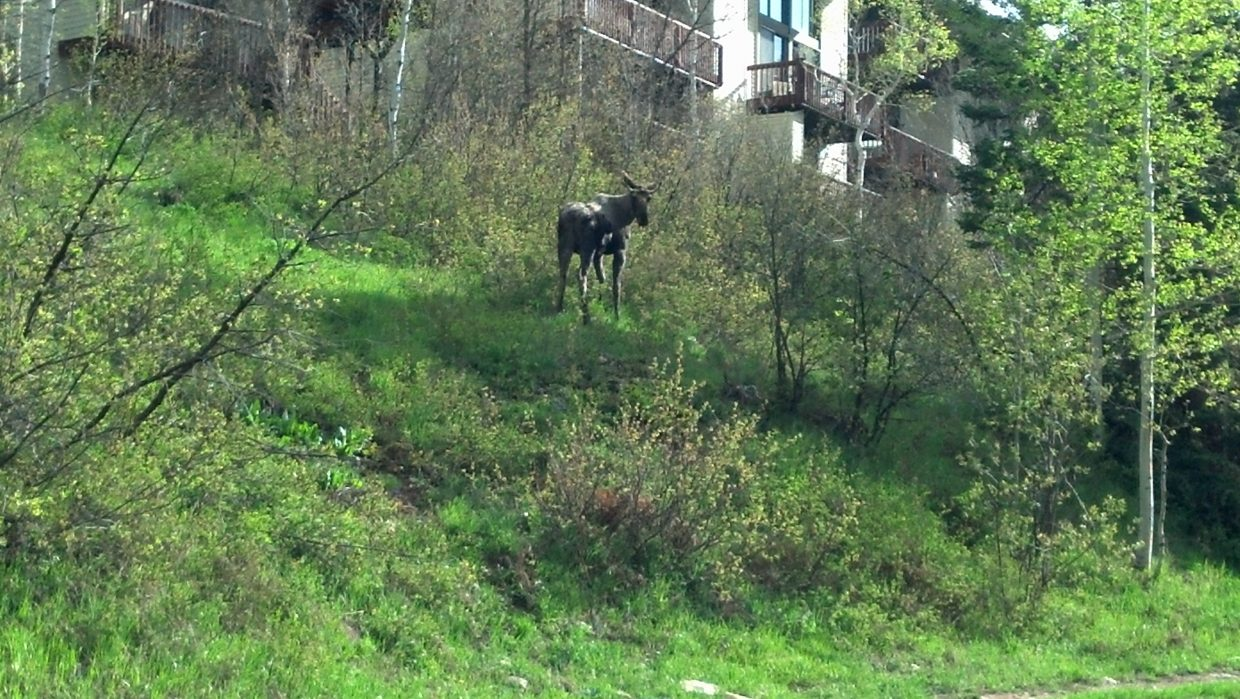 Moose on the mountain this morning. Submitted by Cesli Vierra.