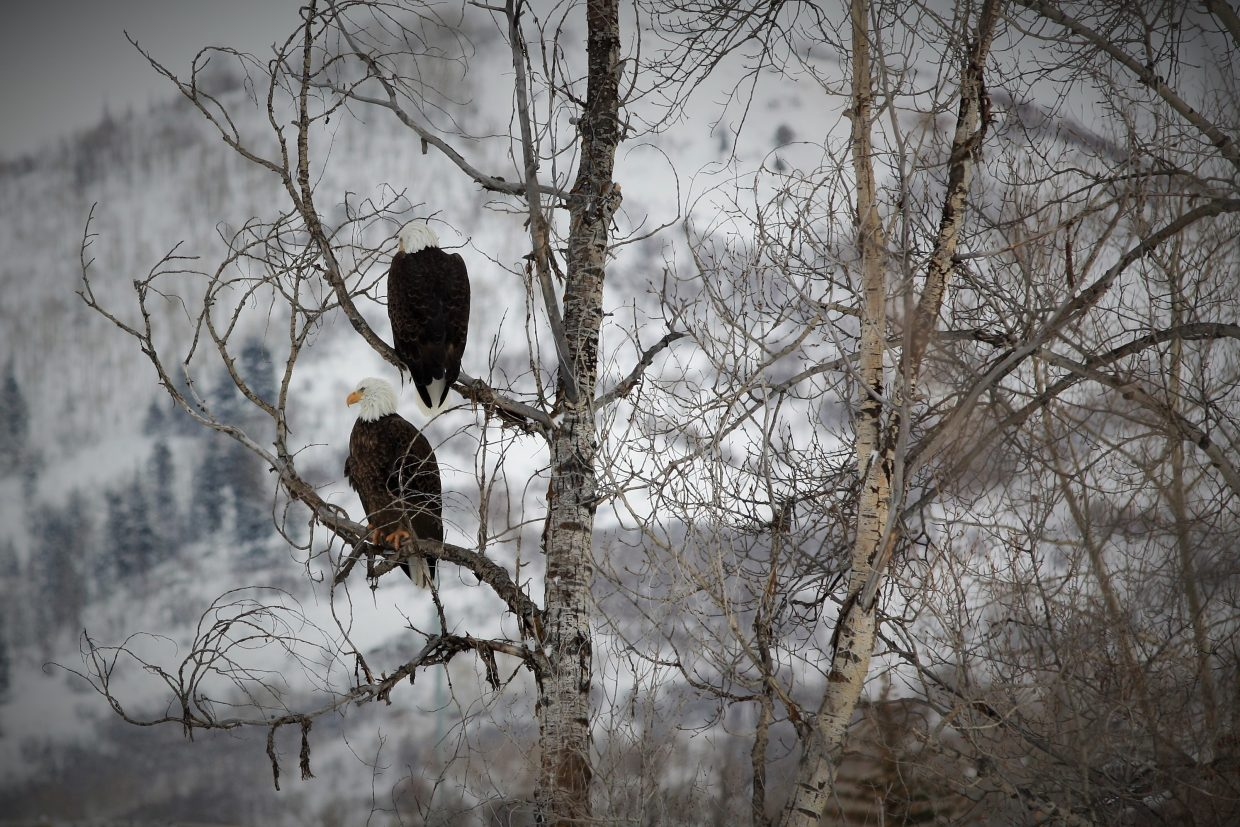 What a treat, our national bird visiting Steamboat Springs today. Submitted by Gina Silveri.