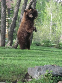 Back scratch bear style in my front yard on Blue Sage Circle. Submitted by: Sandy Gander