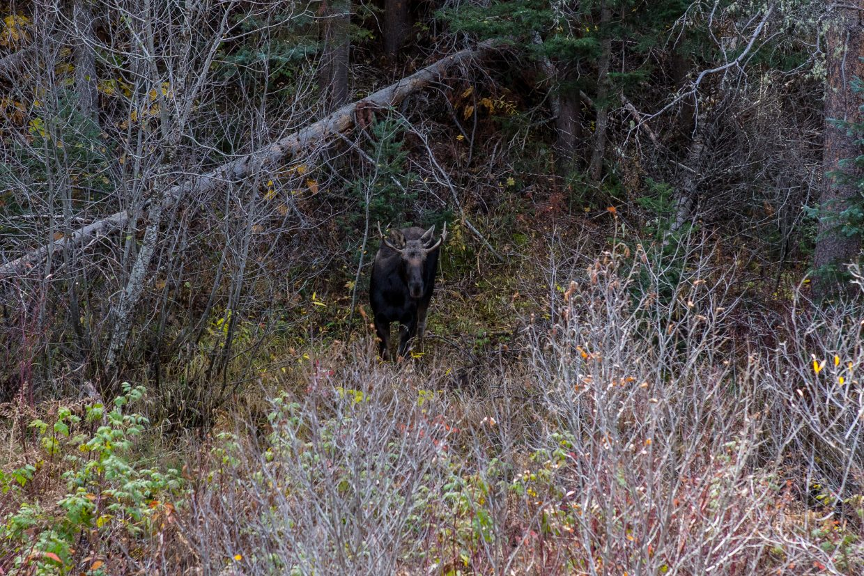 Moose on Strawberry Hot Springs Trail. Submitted by: Carolyn Culp