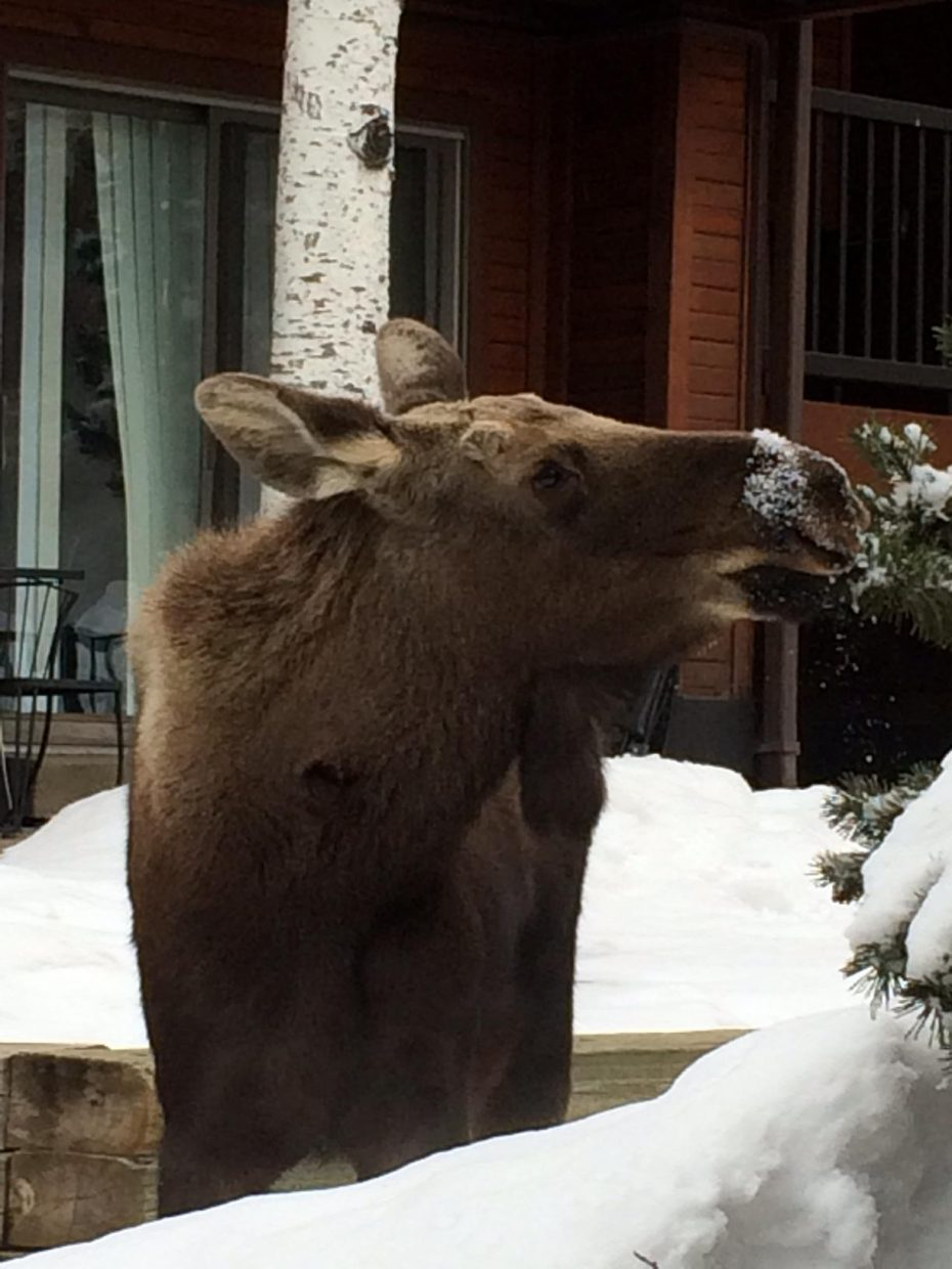 Three moose this morning at Timber Run condos. Submitted by Ruth Gronvold.