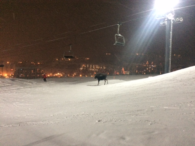 Moose at Steamboat Ski Area. Submitted by: Sonya Damore