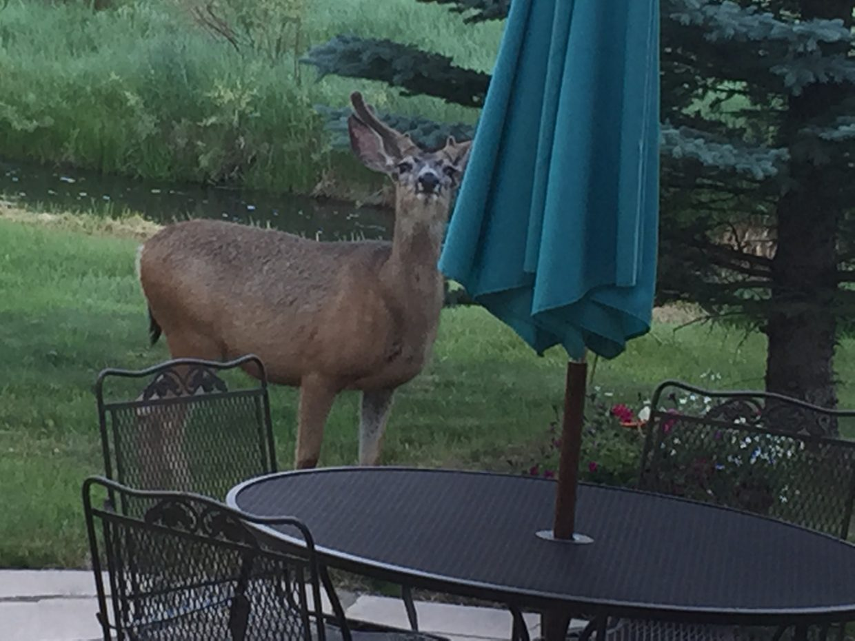 Deer thinking about raising the umbrella at the Sanderosa. Submitted by Cindy Sanders.