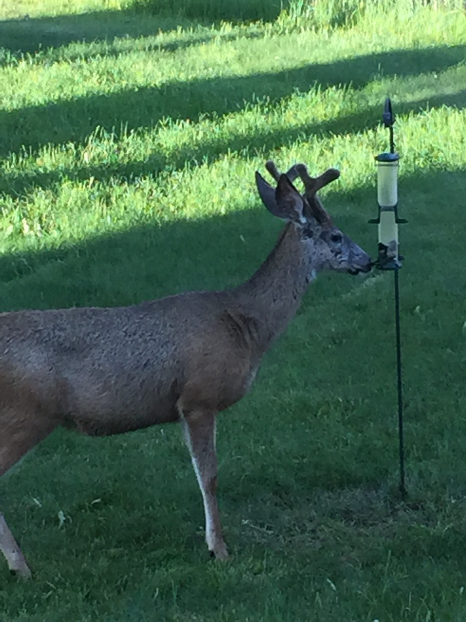 Deer checking out the bird feeder at the Sanderosa. Submitted by Cindy Sanders.