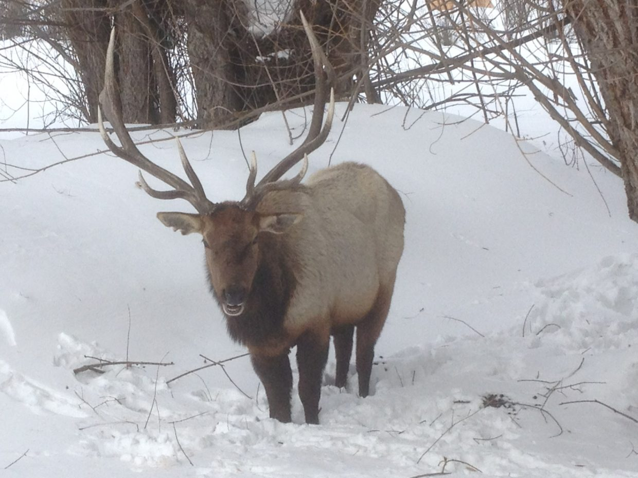 This bull elk hung out all day Friday at Mt. Werner Veterinary Hospital in Steamboat Springs. Submitted by John Rule, DVM.