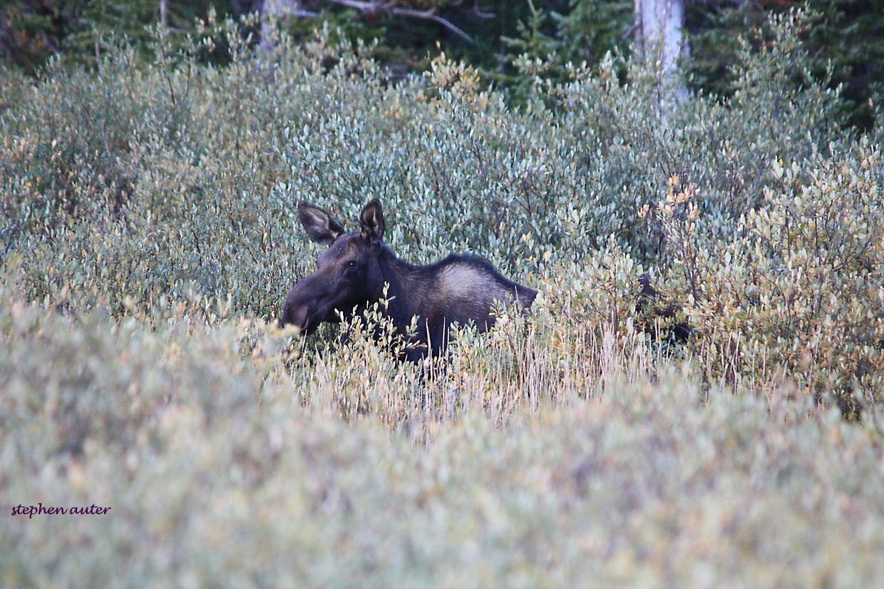 Moose eating at Dumont Lake Campground. Submitted by Stephen Auter.